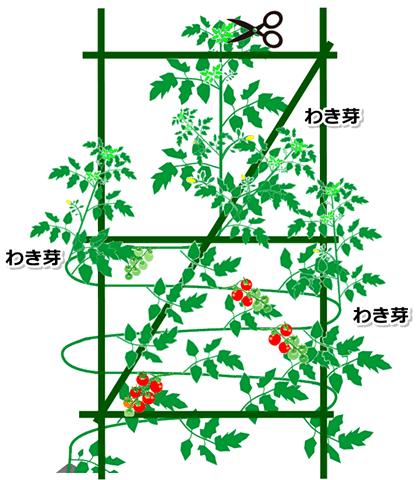トマトの背の管理