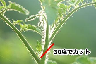 トマトの茎を30度でカット