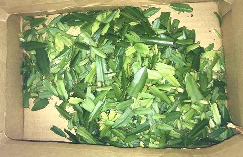 大量のシャコバサボテンの葉
