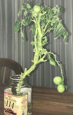 空き瓶のミニトマト