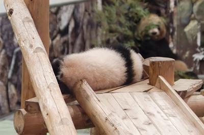 和歌山の赤ちゃんパンダ
