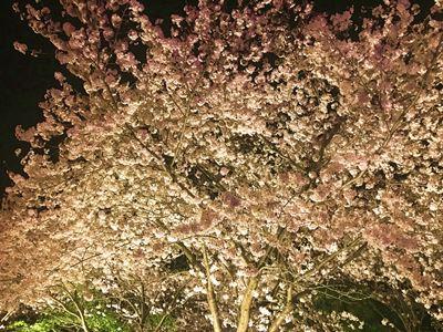 なばなの里 桜