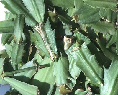 痛んだシャコバサボテンの葉